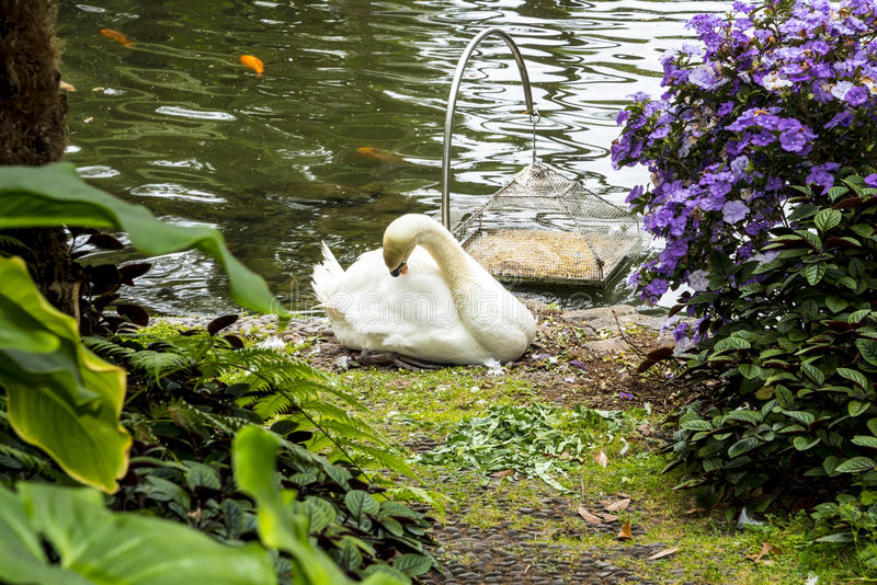 Swan in a Beautiful Garden at Monte above Funchal Madeira. This wonderful garden is at the top of the cablecar from the seafront in Funchal. It is filled with stock images