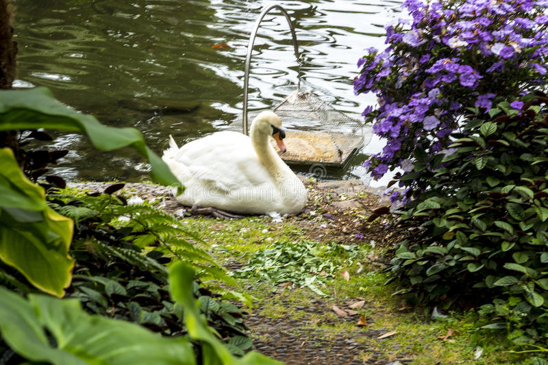 Swan in a Beautiful Garden at Monte above Funchal Madeira. This wonderful garden is at the top of the cablecar from the seafront in Funchal. It is filled with stock photography