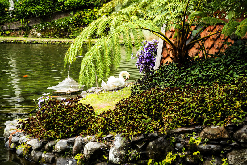 Swan in a Beautiful Garden at Monte above Funchal Madeira. This wonderful garden is at the top of the cablecar from the seafront in Funchal. It is filled with royalty free stock image