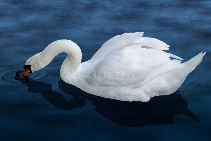 Download Swan Royalty Free Stock Photo - Image: 34470485