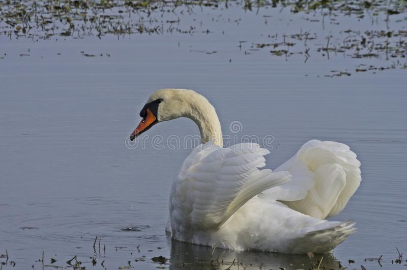 Swan. A beautiful swan with its complete white and neat plumage is relaxing on the water of the lagoon of the natural reserve of Isola della Cona, Italy royalty free stock photo