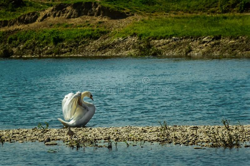 Swan beauty queen stretching the wings royalty free stock photo