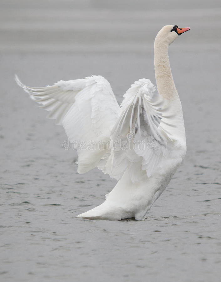 Download Swan bird stock photo. Image of purity, beauty, peaceful - 23547070
