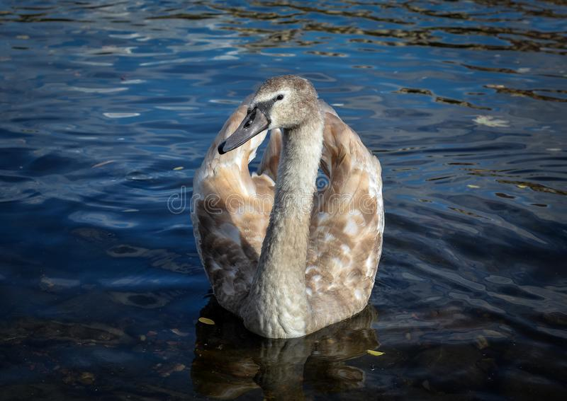 Swan bird float on water in natural background.  royalty free stock images
