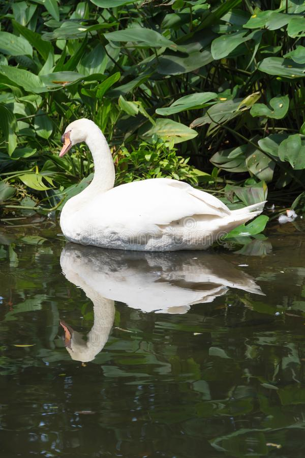 Swan bird isolated in a lake. Swans are birds of the family Anatidae within the genus Cygnus. The swans& x27; close relatives include the geese and ducks. Swans royalty free stock image