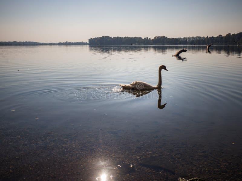 Swan bird in lake in evening light. Beautiful swan cygnus olor in lake in the evening light royalty free stock photography