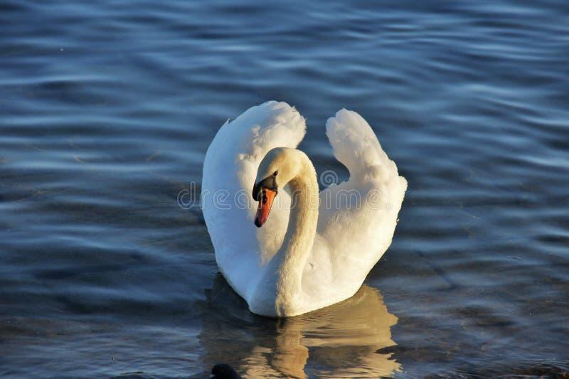 Swan, Bird, Water Bird, Water Free Public Domain Cc0 Image