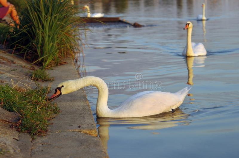 Swan bird in water eating grass. From land stock images