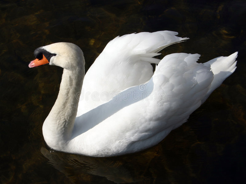 Download Swan on black stock photo. Image of swan, shadow, horizontal - 110718