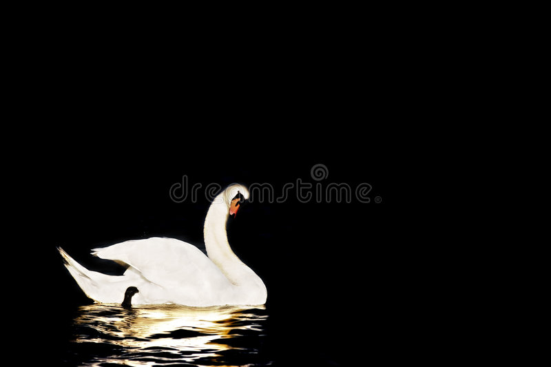 Swan in Black royalty free stock image