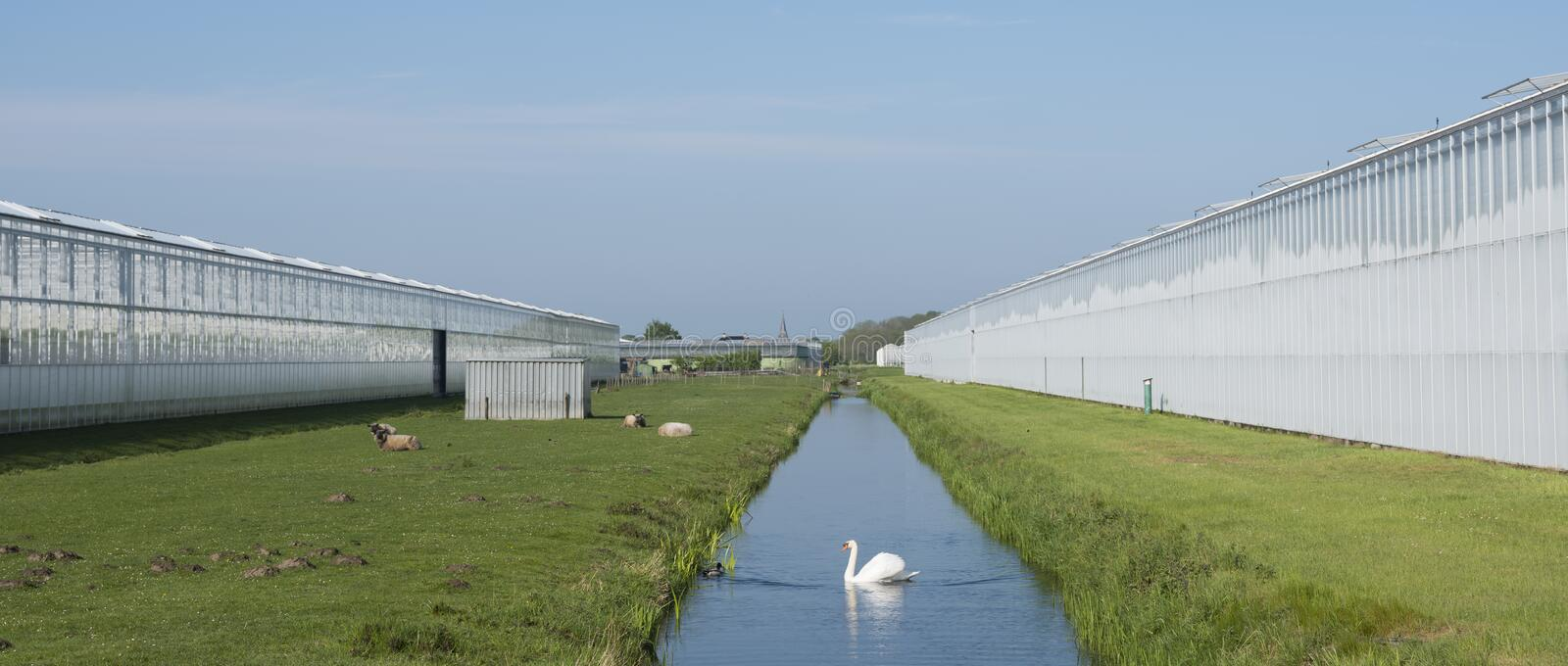 Swan in canal between greenhouses under blue sky in the netherlands near utrecht and De Meern. Panoramic picture of swan in canal between greenhouses under blue stock photos