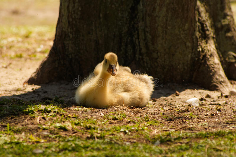 Download Signet resting under tree stock photo. Image of staring - 19001590