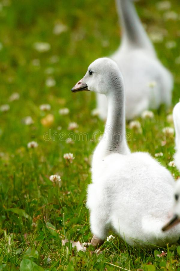 Swan chick in a green meadow. Baby swan chick in a green meadow with siblings following royalty free stock images