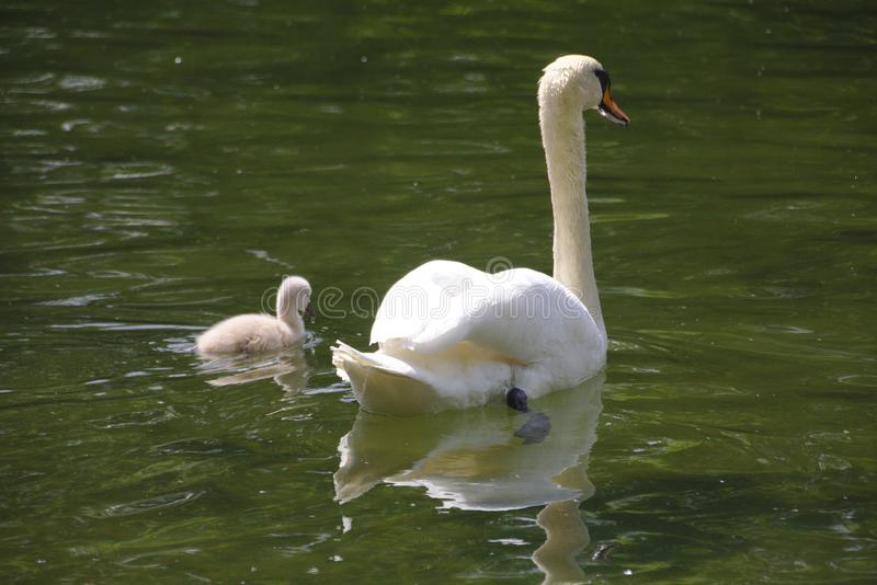 A swan  with a chick swimming in the lake stock image