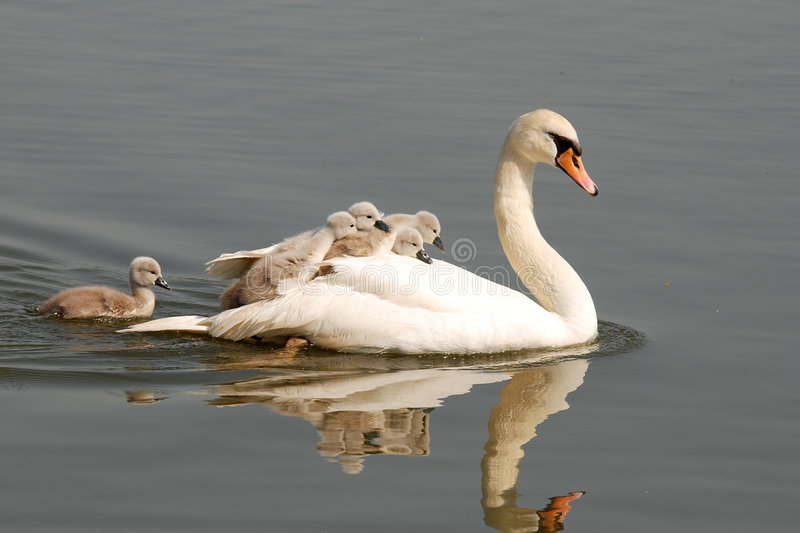 Swan with chicks. Swan carries chicks piggyback is very amusing moment