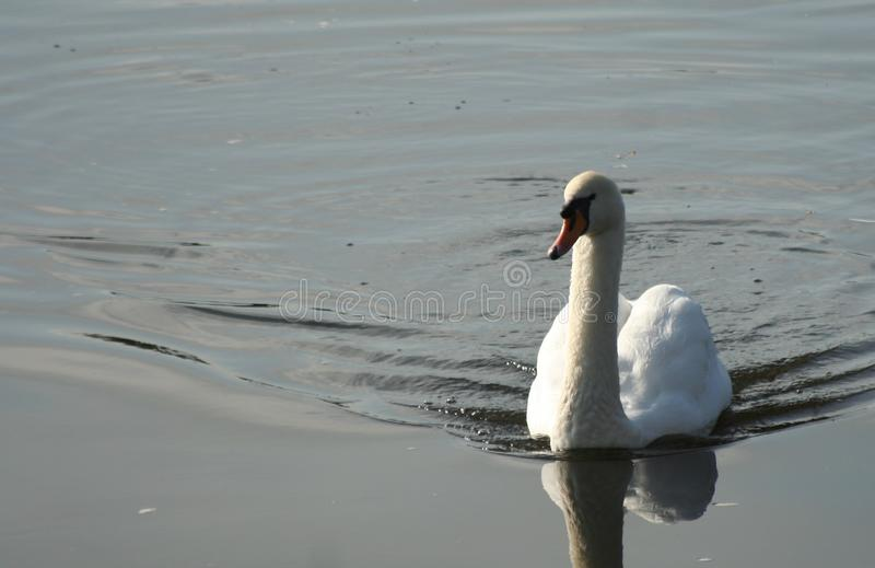 Swan coming home royalty free stock image