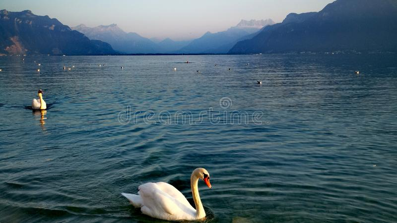 2 swan coming on lake geneva with the colors of sunrise over swiss alps on the background royalty free stock image
