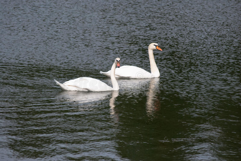 Swan couple royalty free stock photo