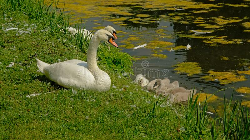 Swan family on the side of the pool stock photos