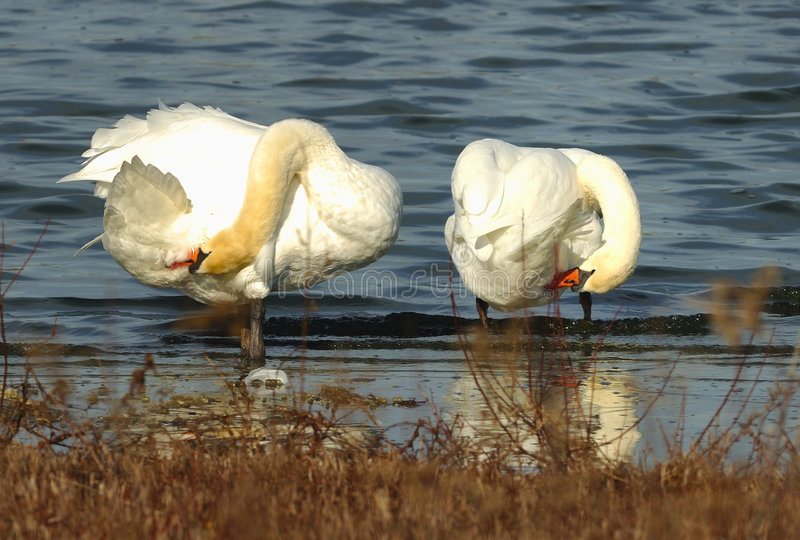 Swan couple grooming royalty free stock photo
