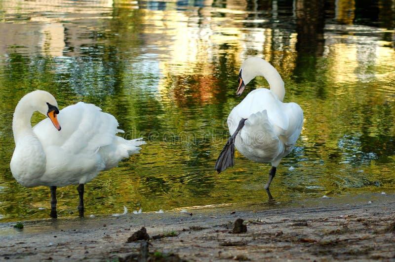 Swan couple stock photography
