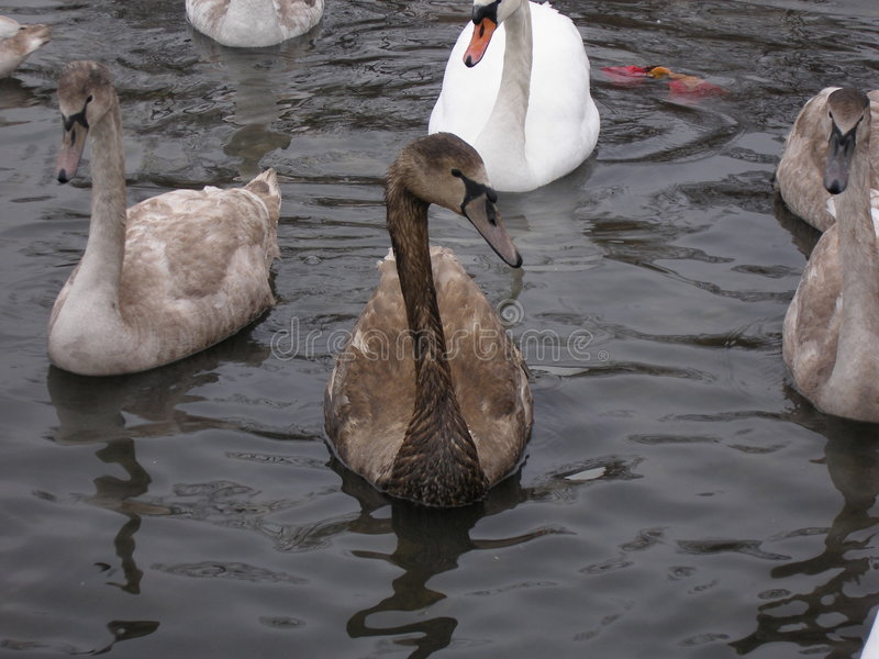 Swan covered with oil stock photography
