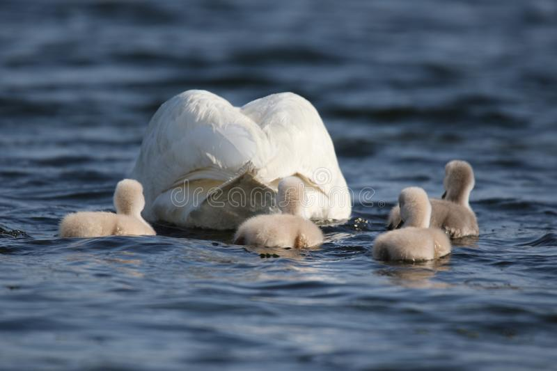 Swan with Cygnets on a Blue Lake. A family of young mute swan Cygnus olor cygnets swimming with the swan parent on a blue lake in Springtime royalty free stock photos