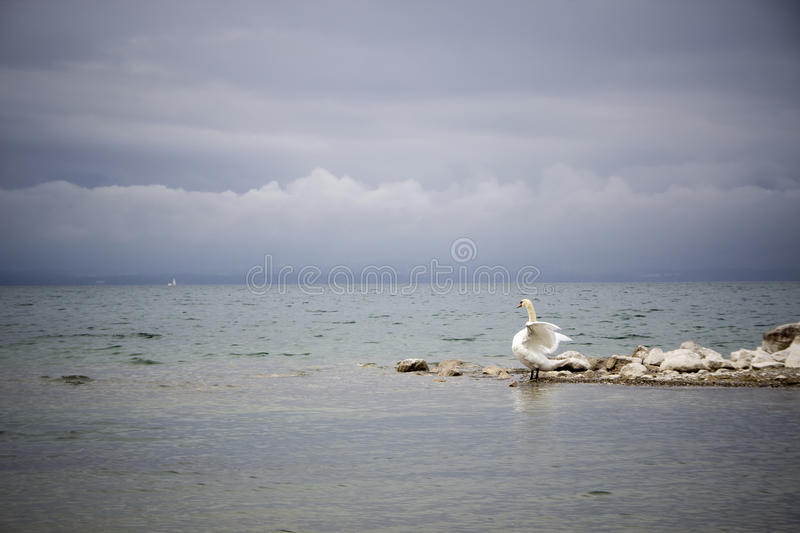 Swan in a dance stock photography