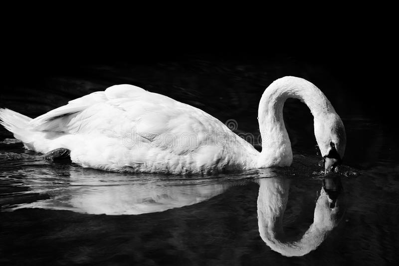 Swan Dipping Beak Into Water. A black and white image of a swan dipping his beak in the water, with clear reflections and much detail. Taken on the River Yare royalty free stock photography