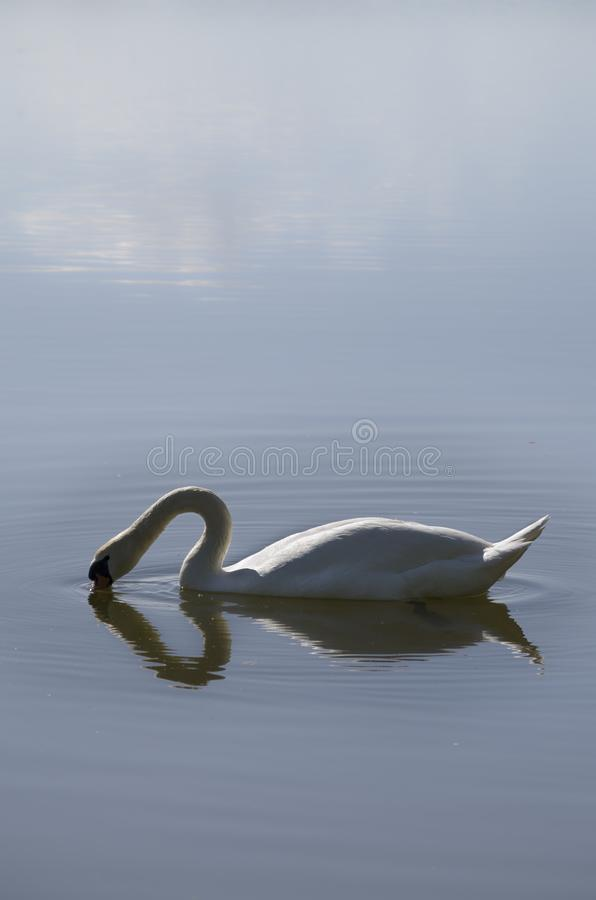 A swan dipping his head in the water creating a heart royalty free stock photography