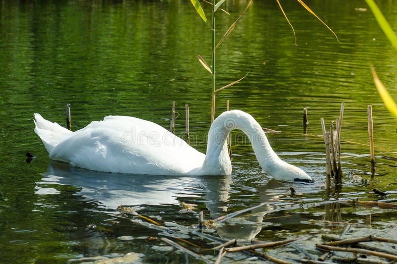 Swan diver, Close wiev on white swan with his head under water royalty free stock images