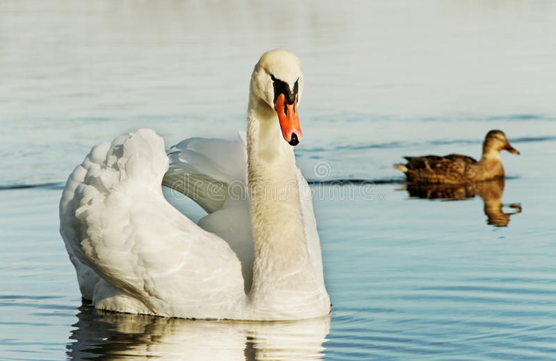 Swan And Duck. Royalty Free Stock Images
