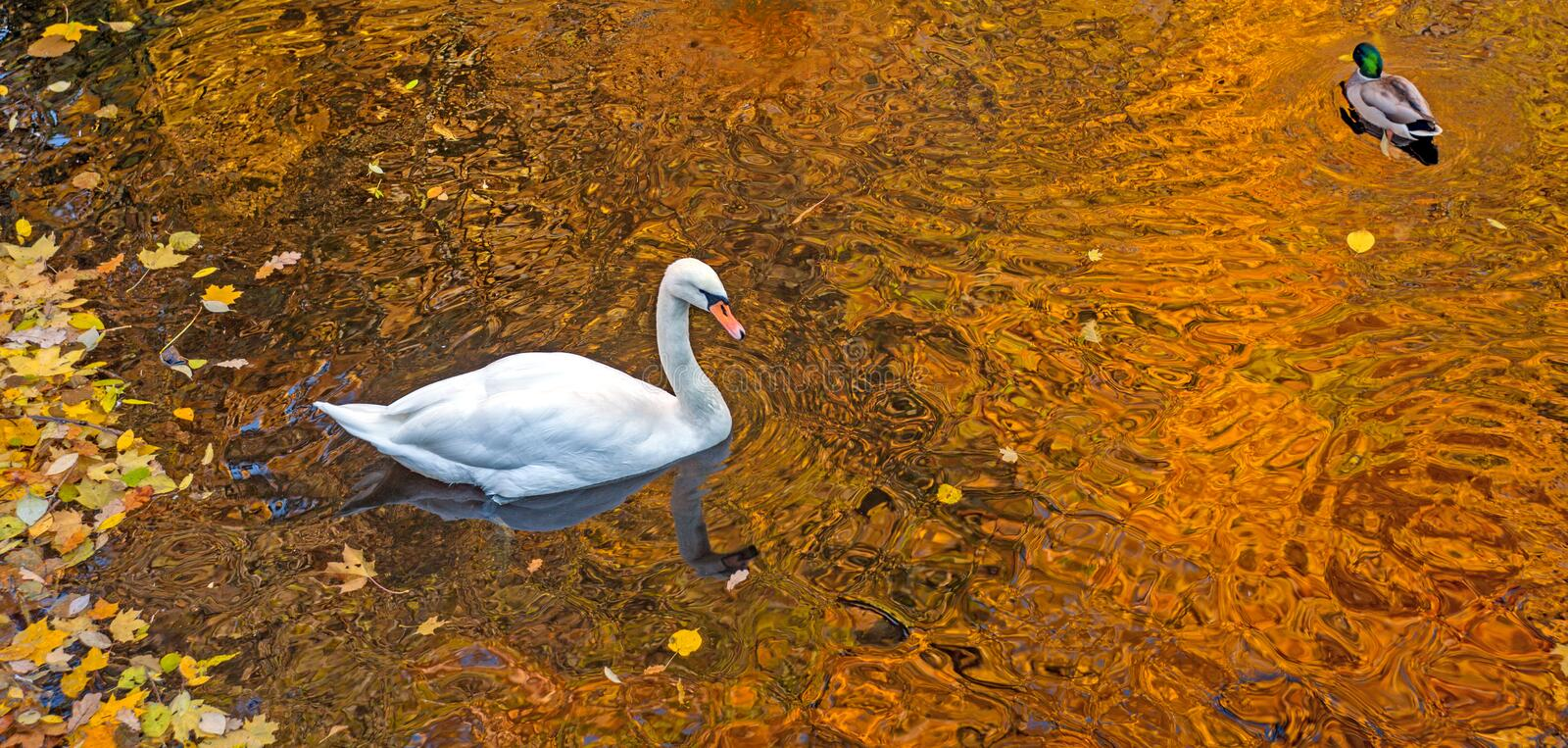 Swan and duck floating in the water of the pond in the park with yellow autumn leaves and beautiful reflection of the trees. Fall stock images