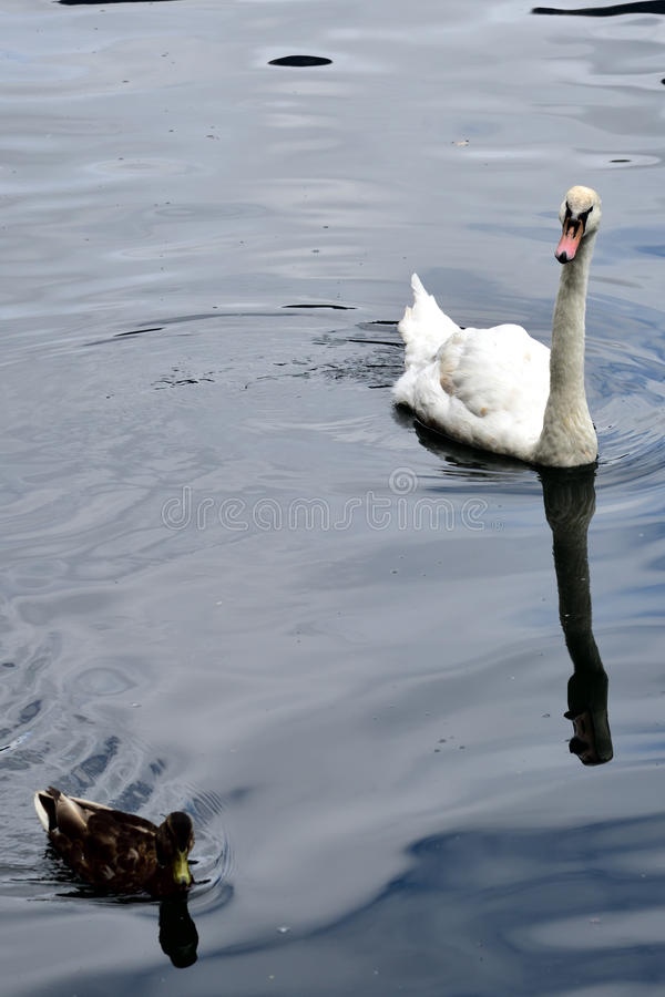 Swan and duck swimming in the lake royalty free stock image