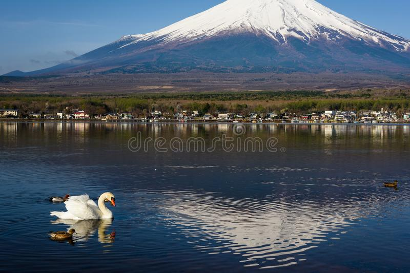 swan and ducks with mount Fujisan royalty free stock photos