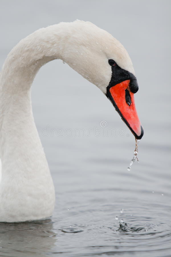 Swan Eating Stock Image