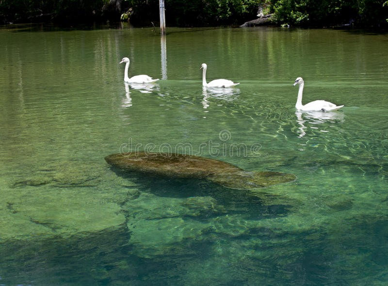 Swan Escort Manatee - Homosassa Springs. Three Swan escort a Manatee as they swim through the crystal clear and warm freshwaters of Homosassa Springs, FL in royalty free stock images