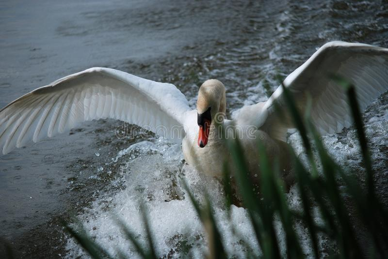 Swan landing on the surface of spring pond royalty free stock image