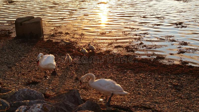 Swan families stock images