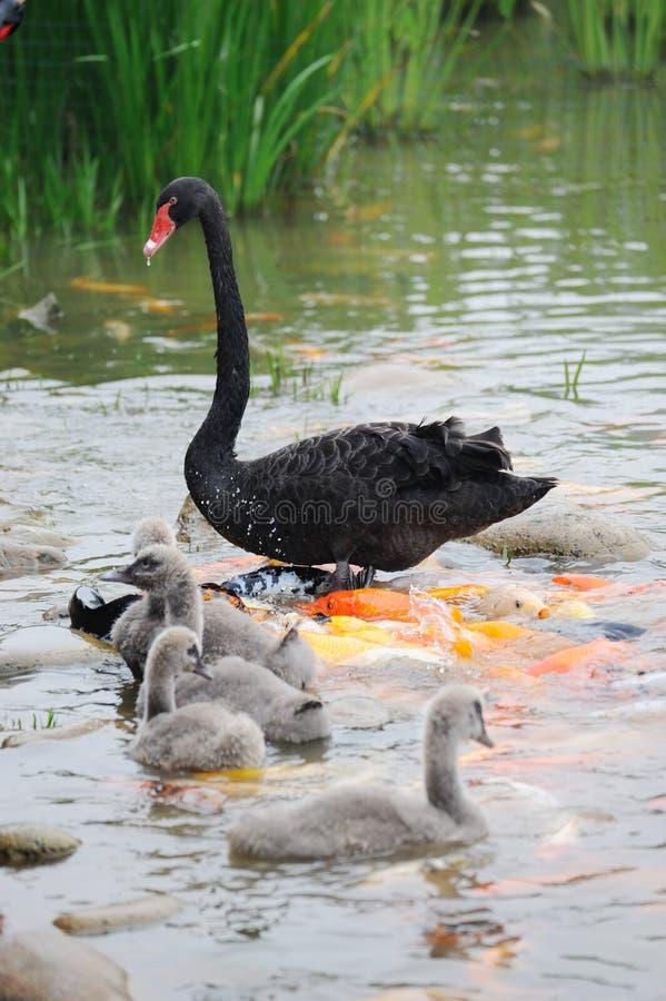 Free Swan Family Stock Photography - 19848312
