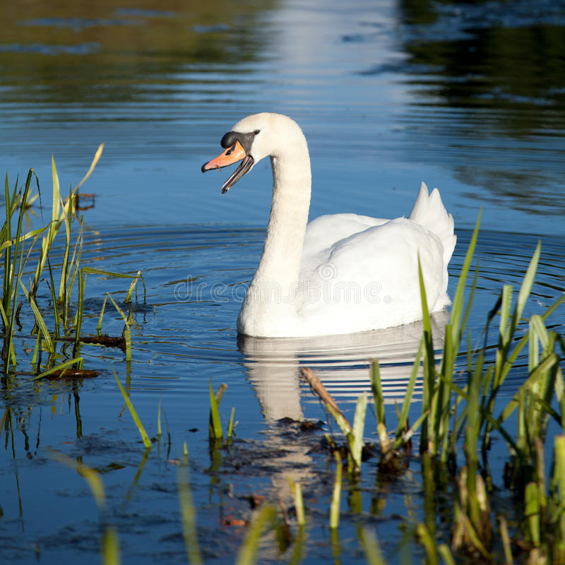 Download Swan family stock image. Image of feather, behavior, fine - 26808397