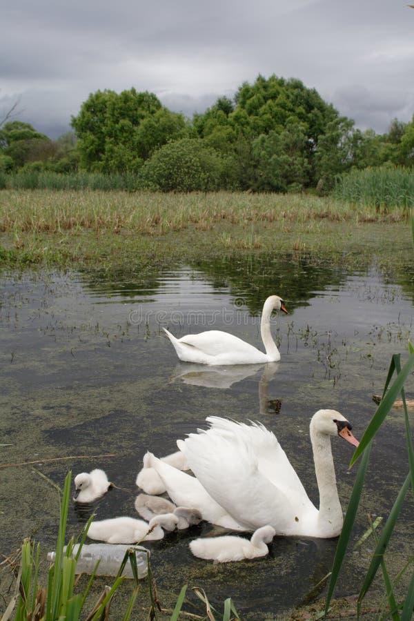 Free Swan Family Royalty Free Stock Photo - 3826195