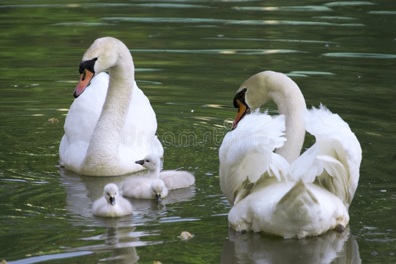 Swan family royalty free stock photography