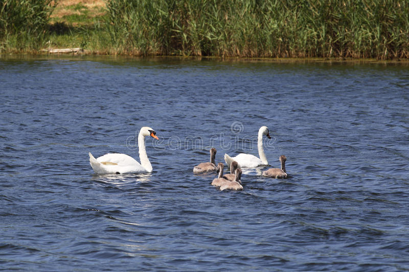 Swan family all in the collection stock images