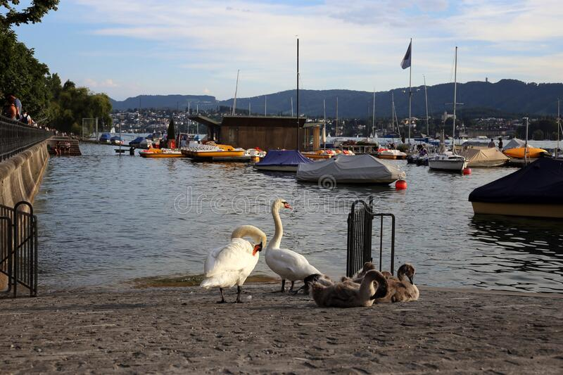 Swan Family be a River during a Beautiful Summer Evening in Zurich, Switzerland stock photo