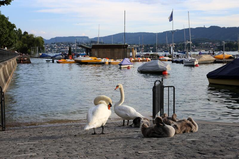 Swan Family be a River during a Beautiful Summer Evening in Zurich, Switzerland royalty free stock photography