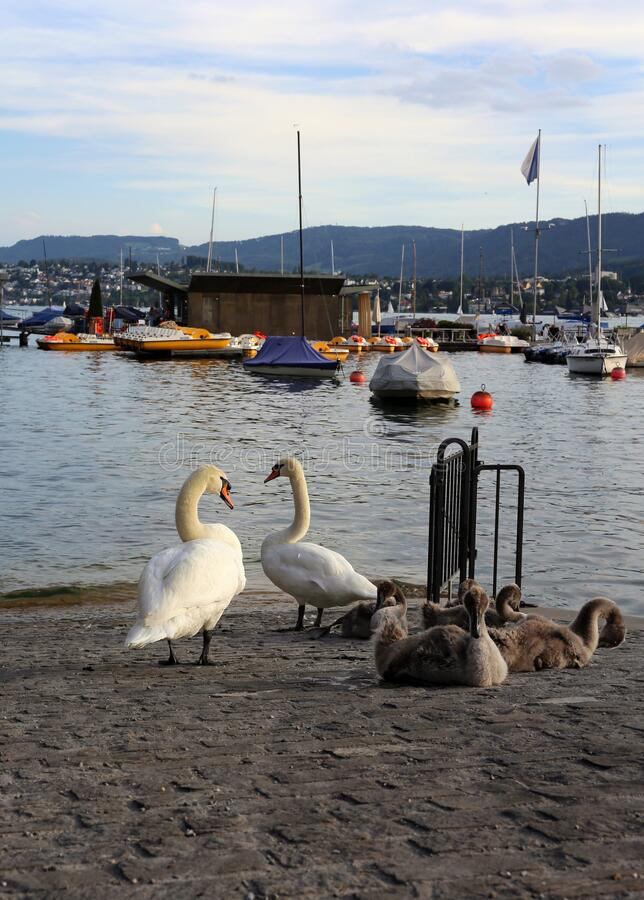 Swan Family be a River during a Beautiful Summer Evening in Zurich, Switzerland stock photos