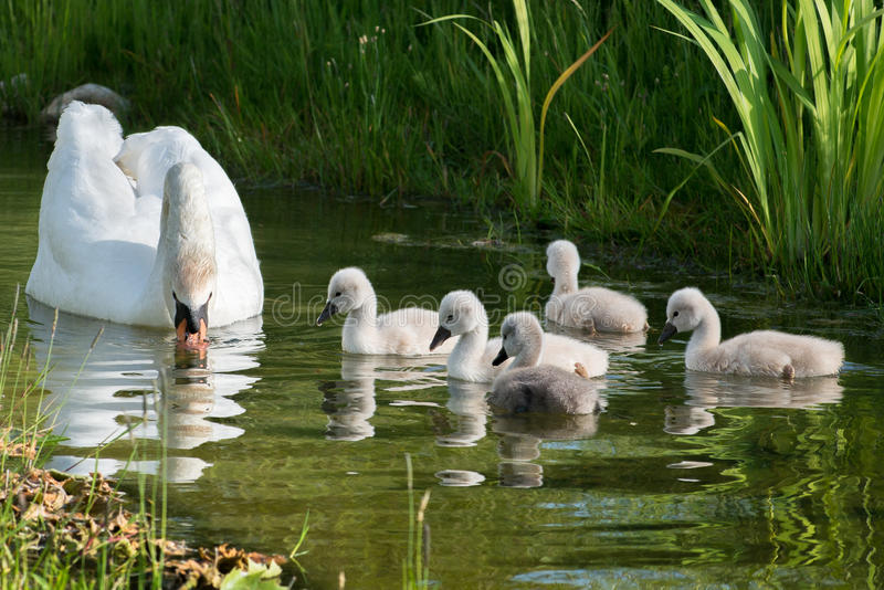 Download Swan family stock image. Image of adorable, bird, green - 33301343