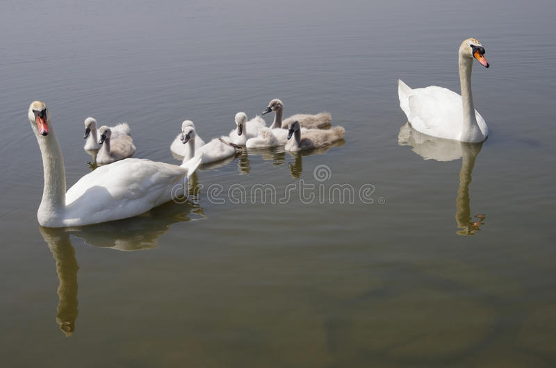 Swan family floating on the water. (parents guarding their children stock photo