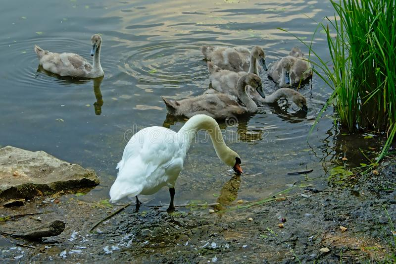 Swan family foraging for food on the border of a lake royalty free stock photo